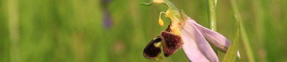 Bienen Ragwurz