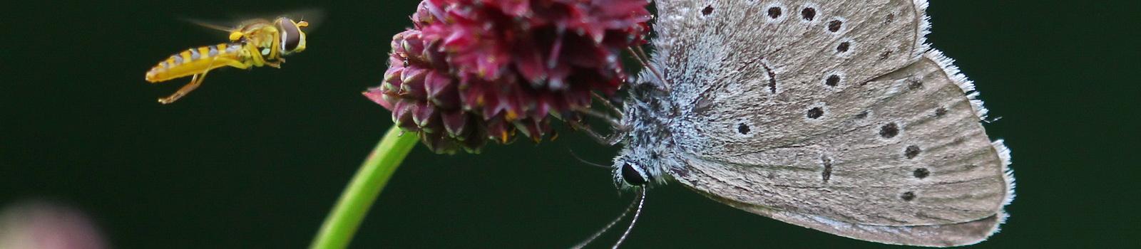 Heller Wiesenkopf-Ameisen Bläuling