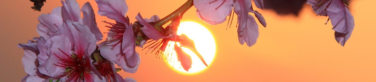 Mandelbüte im Sonnenuntergang